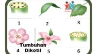 Tumbuhan-dikotil-karakteristik-struktur-klasifikasi-reproduksi